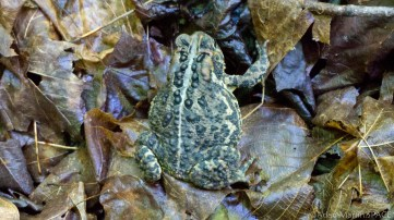 Copper Falls State Park - Frog on the CCC trail