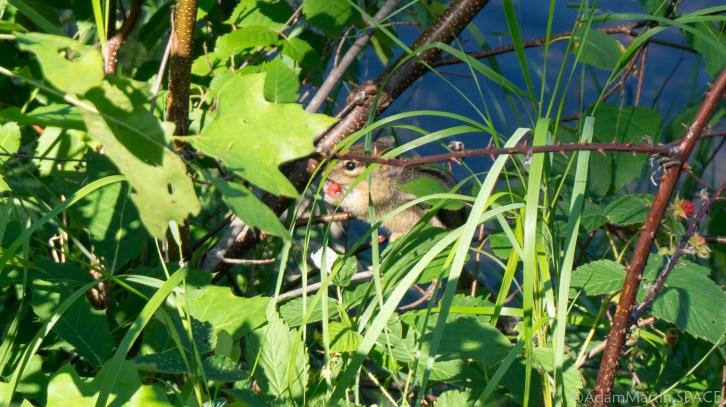 Straight Lake State Park - Chipmunk eating wild berries
