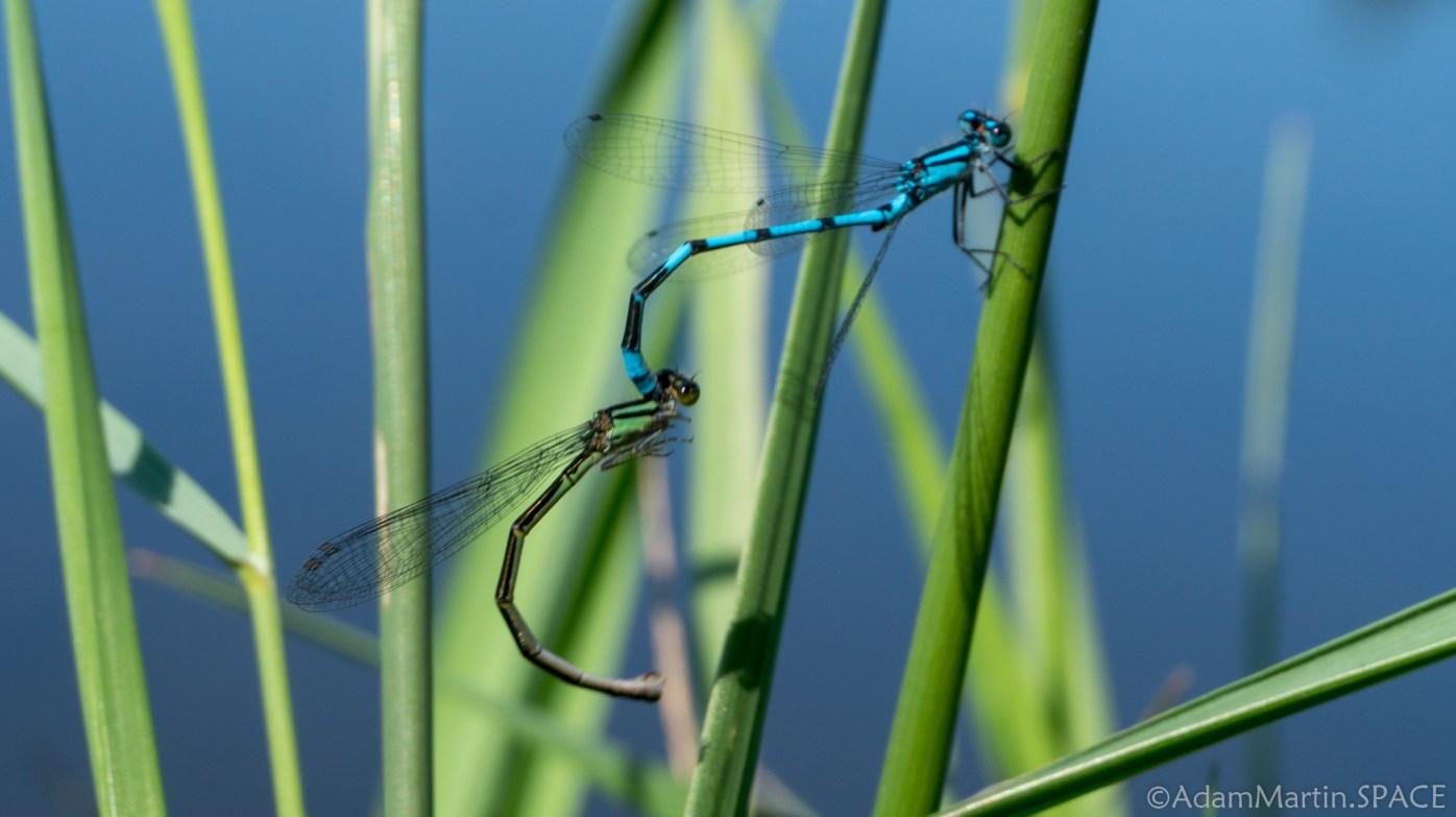Straight Lake State Park - Damselfly mating
