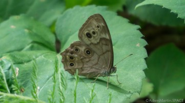 Rock Island State Park - Northern Pearly Eye butterfly