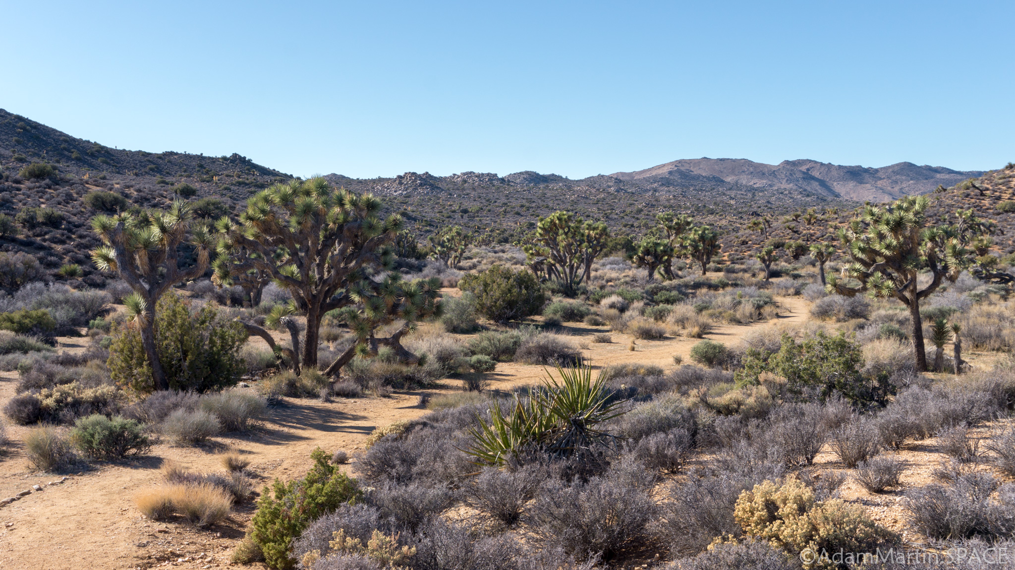 Joshua Tree - Trees on Lost Horse Loop