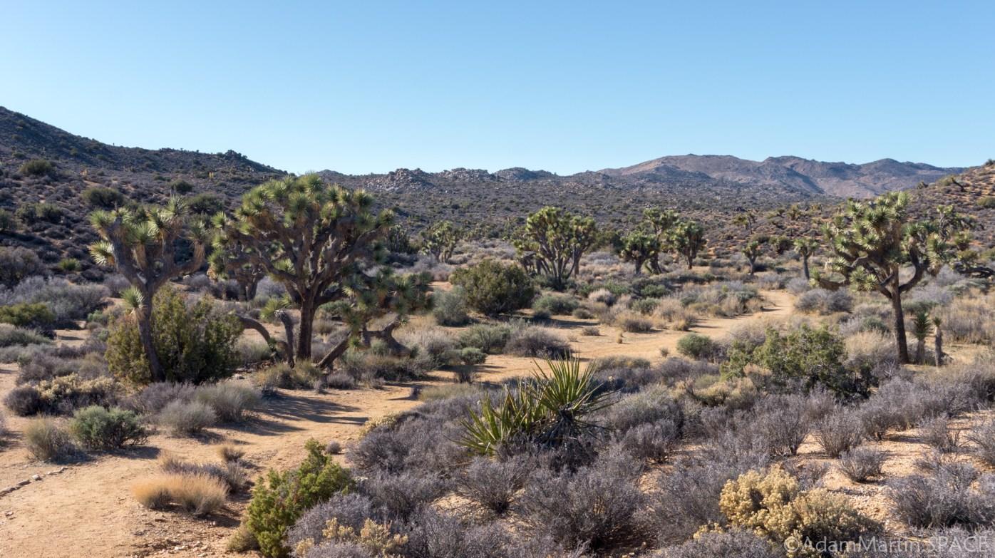Joshua Tree - Trees on Lost Horse Loop
