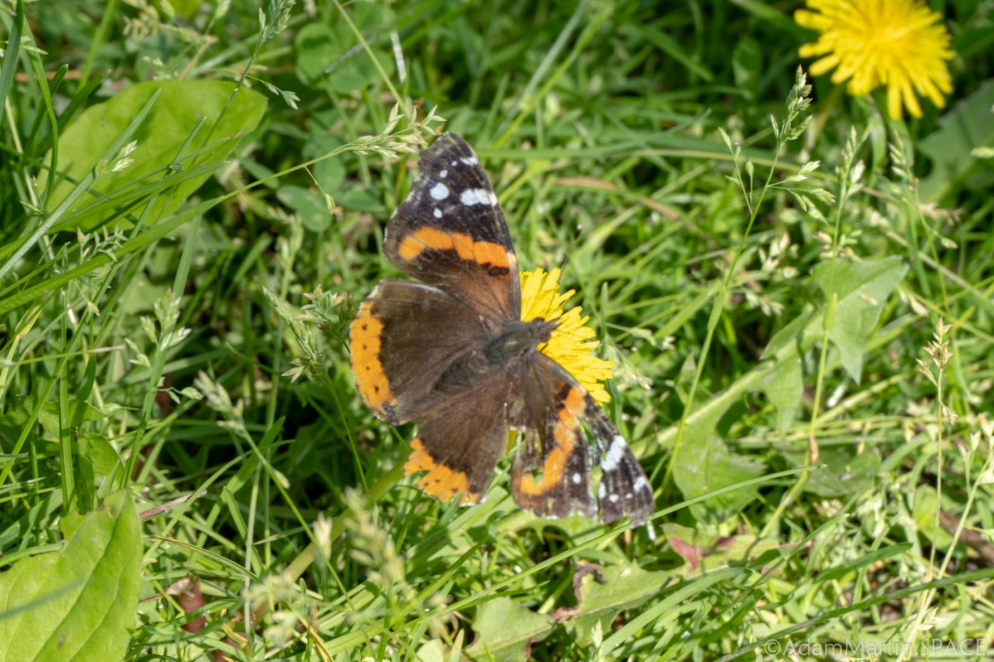 New Glarus Woods State Park - Red Admiral Butterfly