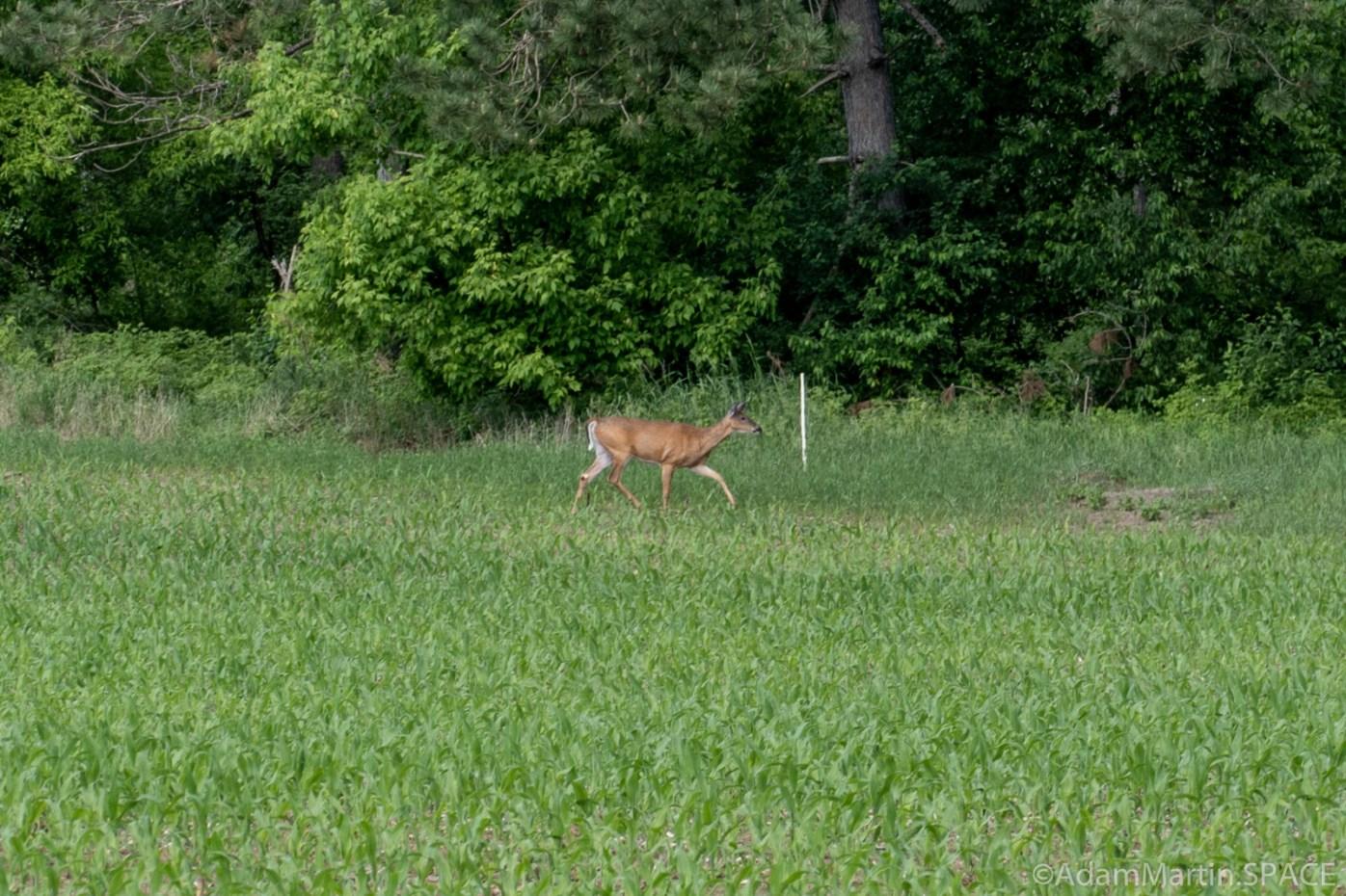 Little Bull Falls (Shawano) - Deer on the private farmland adjacent to public area
