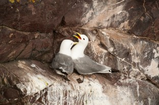 The kittiwakes were clearly paired up but there was not an egg in sight, while there was plenty of courtship.
