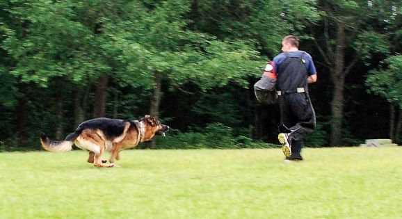 A German Shepherd is put through its paces for Harrison K-9.