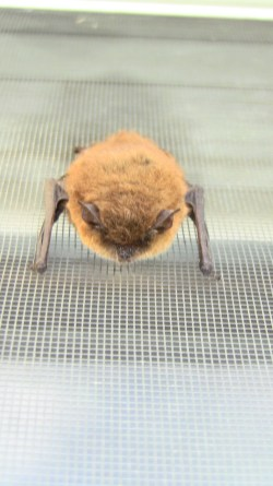 Frederick the Bat