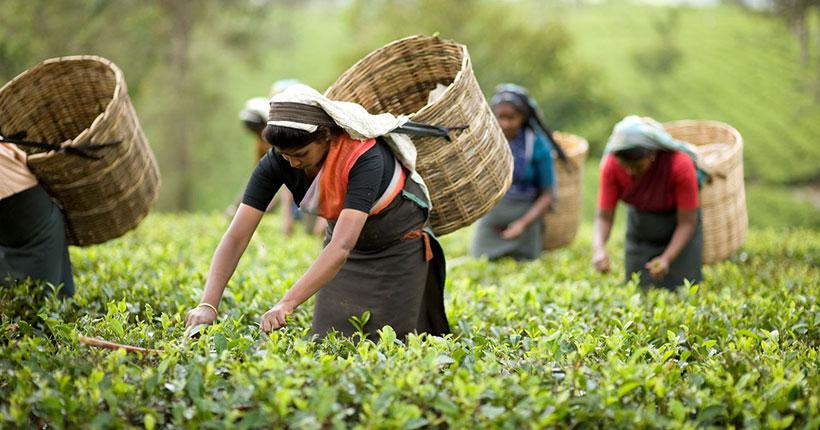 lakkatura-tea-garden-sylhet-01