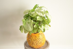 Kokedama, A Dash of Green, Tamworth