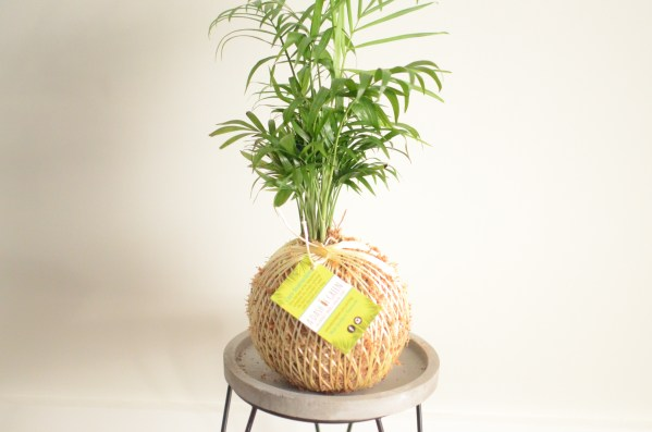 Parlour Palm