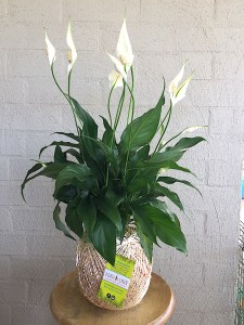 Large Peace Lily Kokedama, A Dash of Green