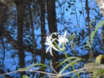 A lily-like flower blooms in the middle of the swamp.