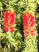 The bright red of the bottle brush tree caught my eye — and the eye of a lot of bees.