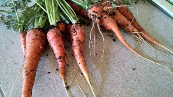 Our first attempt at carrots.