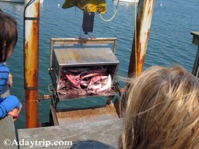 Unloading fresh fish