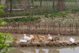 เล้าเป็ดไก่พร้อมบ่อน้ำเล็กๆ