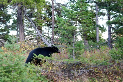 A black bear along the Going-to-the-Sun Road in Glacier National Park in Montana.
