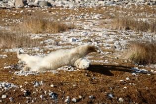 Bear #3 in a sleepy stretch