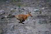 Foxy Neighbours