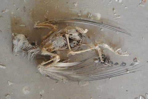 Bird skeleton inside the Egyptian Halls