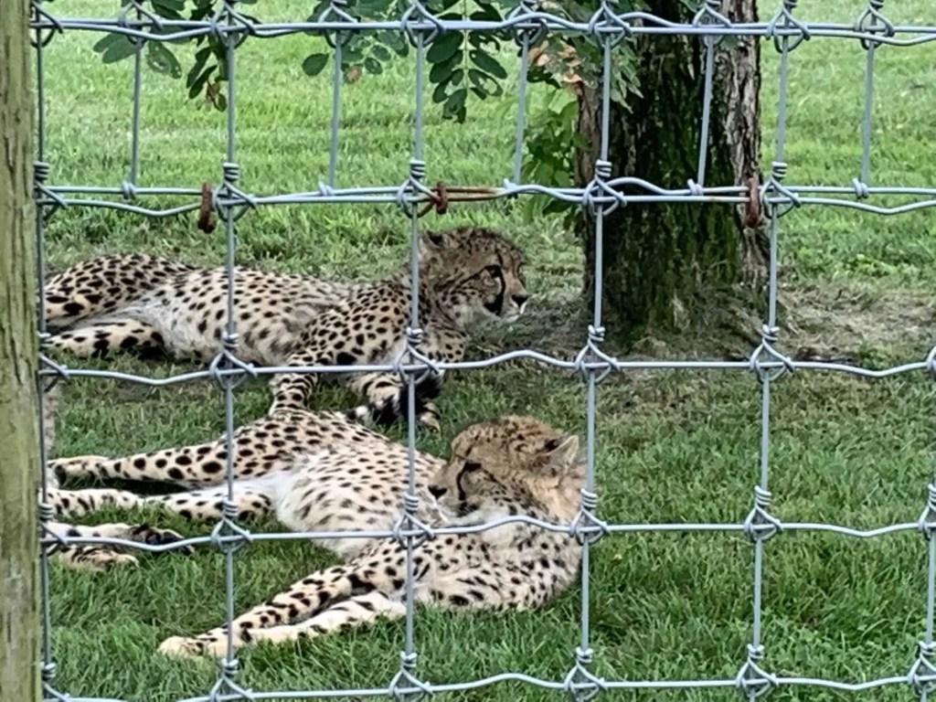 Cheetahs at the Wilds