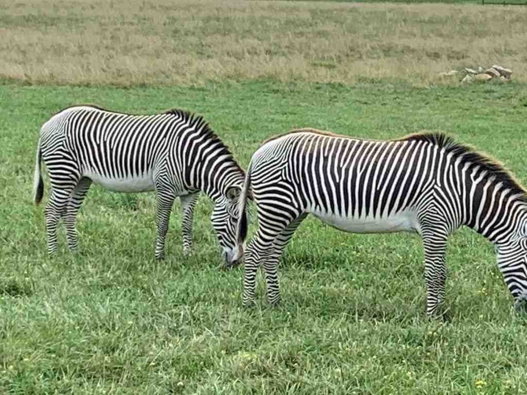 Zebras at The Wilds