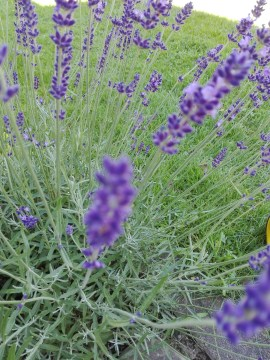 lavendel, lavender, addesign, summerflowers, cool colours 2016