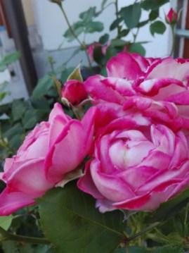 rose, addesign, summerflowers, cool colours 2016