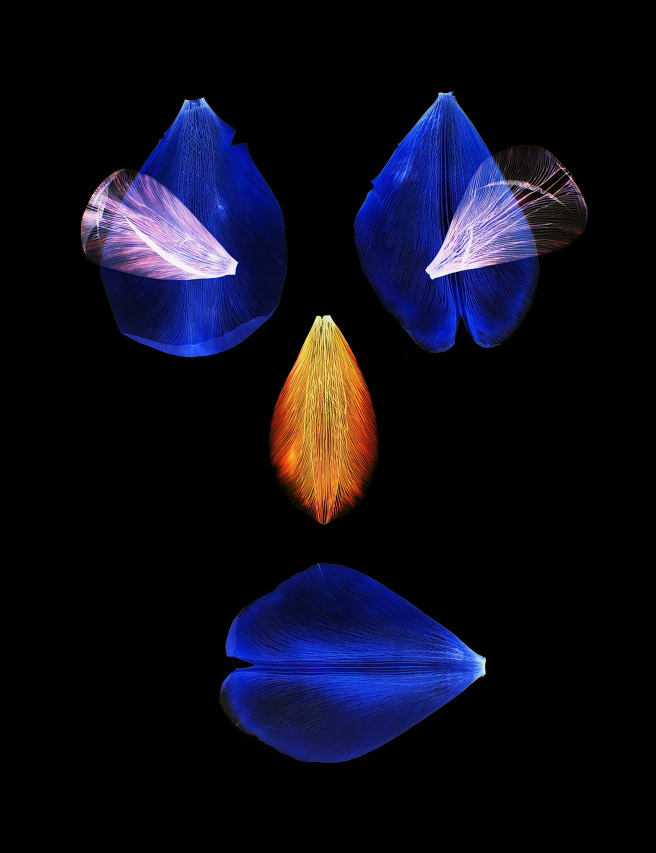 Hildekoenderszwartblauw