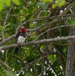 Brown breasted Barbet