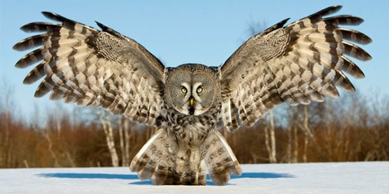 great_grey_owl_JariPeltomaki4