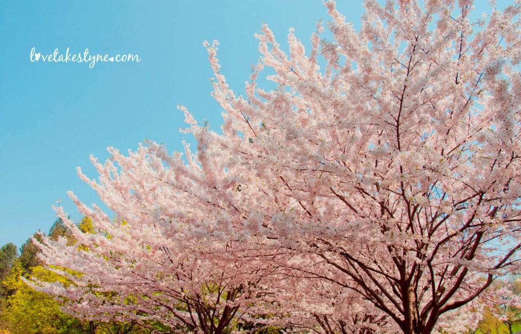 Toronto Canada cherry blossoms