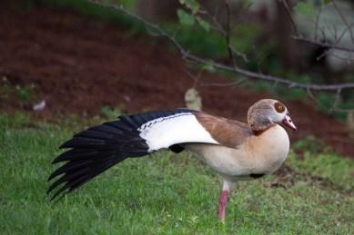 Egyptian Duck, Wakodahatchee Wetlands, Boynton Beach, FL