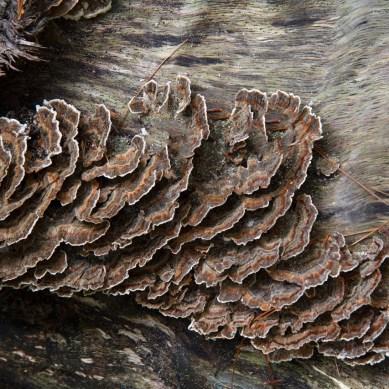Turkey Tail Mushrooms on a log, Abrams Falls Trail, Great Smoky Mountain National Park, TN