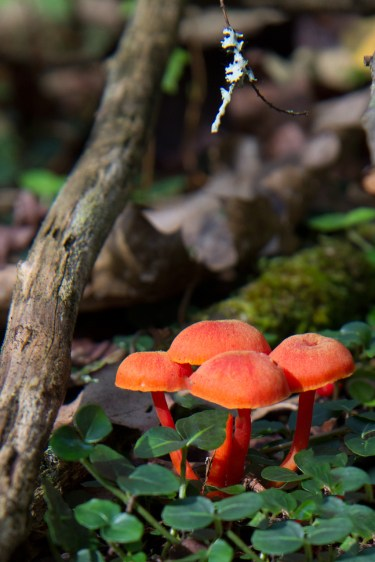 Red mushrooms on the trail near Little Pigeon River, Great Smoky Mountain National Park, Greenbrier, TN