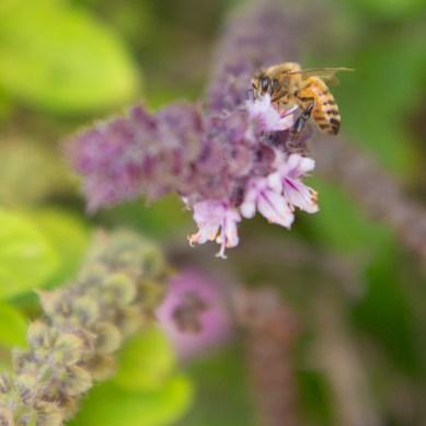 Bee on Pickerelweed, Wakodahatchee Wetlands, Boynton Beach, FL