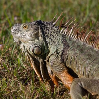 Green iguana, Wakodahatchee Wetlands, Boynton Beach, FL