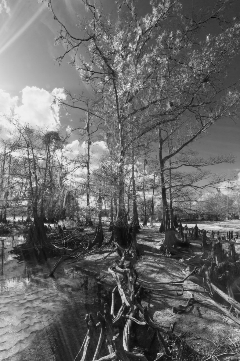 Cypress Sunburst in black and white, Fisheating Creek Outpost, Palmdale, FL