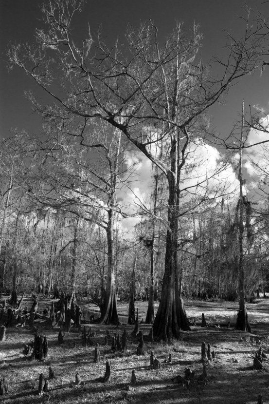 Cypress knees in black and white, Fisheating Creek Outpost, Palmdale, FL