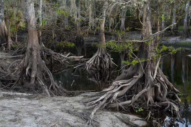Enchanted Swamp, Cypress trees, Fisheating Creek Outpost, Palmdale, FL