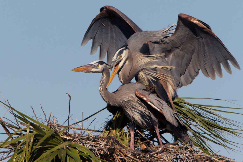Nesting Great Blue Herons, Viera Wetlands, Viera, FL