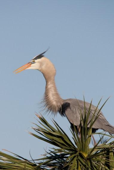 Great Blue Heron, Viera Wetlands, Viera, FL