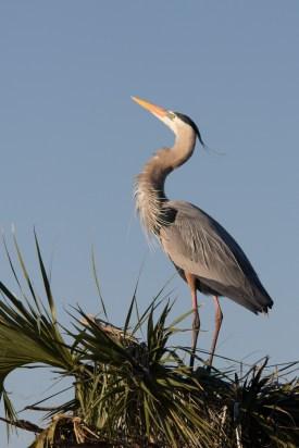 Mating plumage, Great Blue Heron, Viera Wetlands, Viera, FL