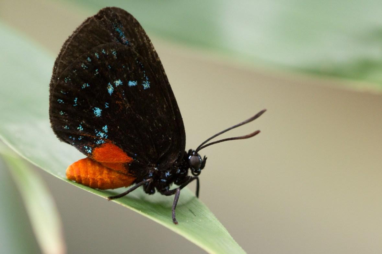 Atala Butterfly, Very Rare, Endangered, Mounts Botanical Garden, West Palm Beach, FL