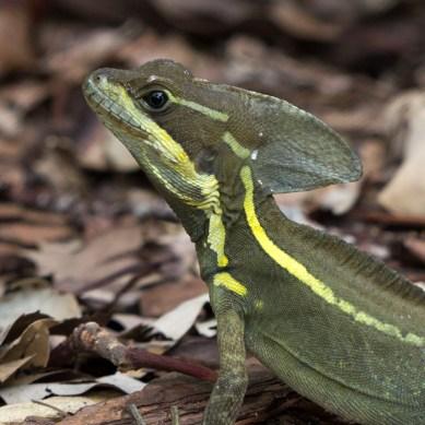 Brown Basilisk Lizard, Mounts Botanical Garden, West Palm Beach, FL