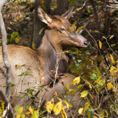Mother Elk, Cataloochee Valley, Great Smoky Mountain National Park, NC © Adel Alamo 2015