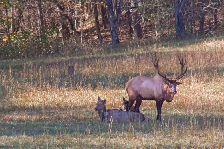 Elk buck and female elk, Cataloochee Valley, Great Smoky Mountain National Park, NC
