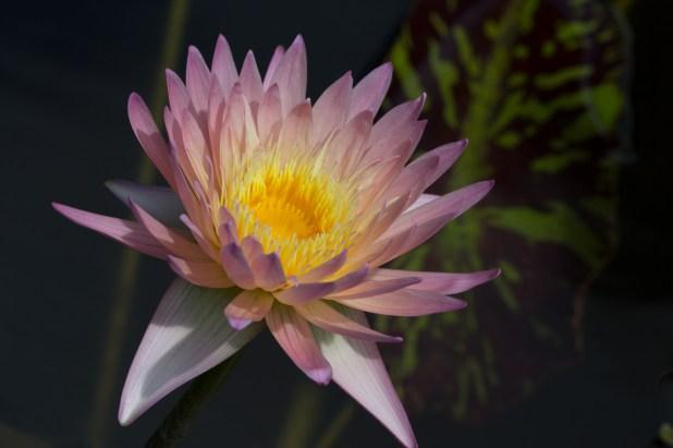 Water Lily, McKee Botanical Gardens, Vero Beach, FL