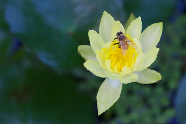 Bee and Yellow Water Lily, McKee Botanical Gardens, Vero Beach, FL