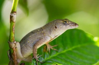 Lizard, McKee Botanical Gardens, Vero Beach, FL